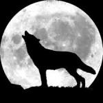 Почему волки воют на луну? фото