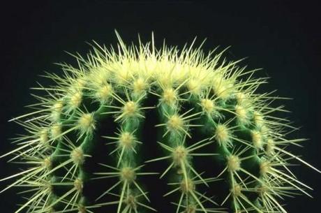 Почему кактусы не цветут? фото