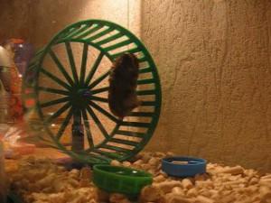 Почему хомяки бегают в колесе? фото