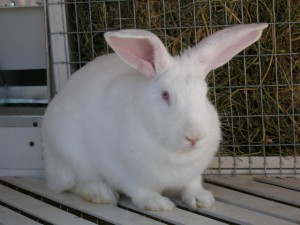 Почему у кролика горячие уши? фото