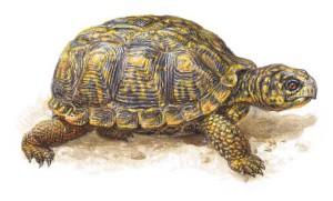 Почему черепаха пищит? фото