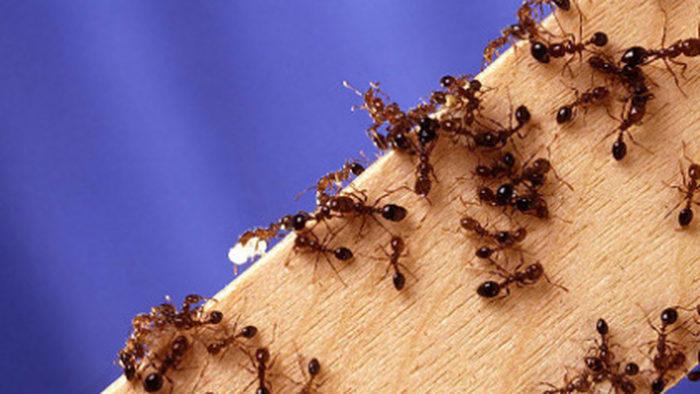 Почему в доме завелись муравьи? фото