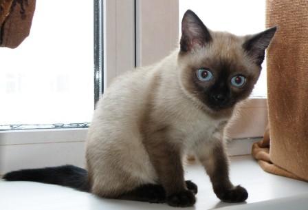 Почему тайские кошки темнеют? - фото