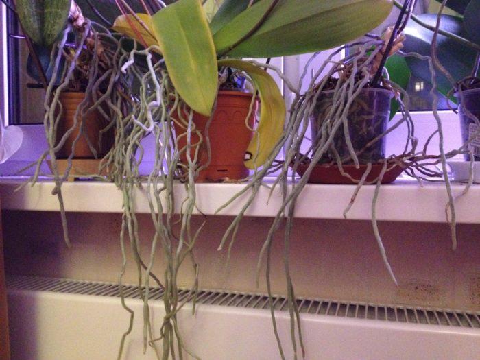Почему орхидея пускает воздушные корни? фото
