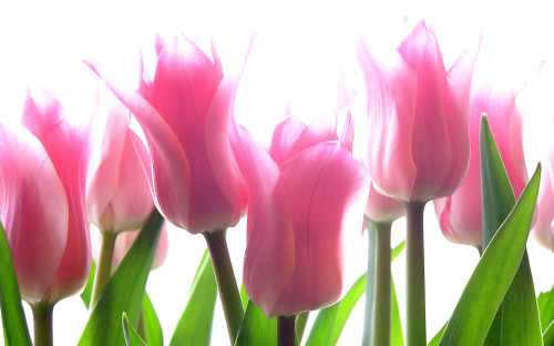 Как выращивать тюльпаны? фото