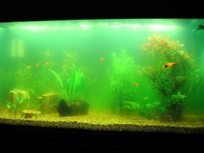 Почему аквариум зеленеет? фото