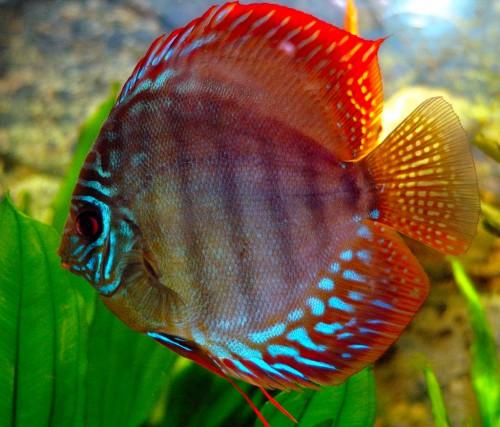 Капризные рыбки Дискусы, какие они? фото