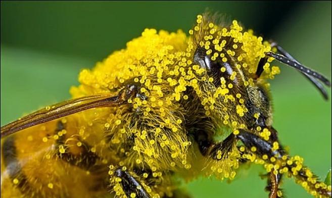 пыльца пчелиная