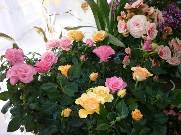 Почему домашняя роза сбрасывает листья? фото