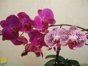 Как ухаживать за орхидеей комнатной? фото