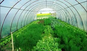 Как в теплице выращивать зелень петрушки и укропа? фото