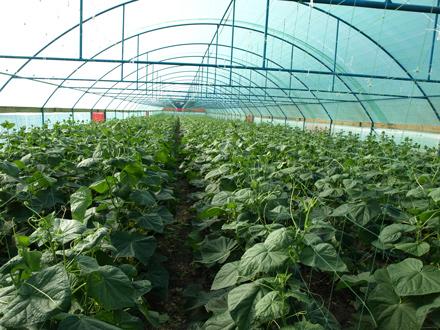 Как выращивать огурцы в теплице? фото