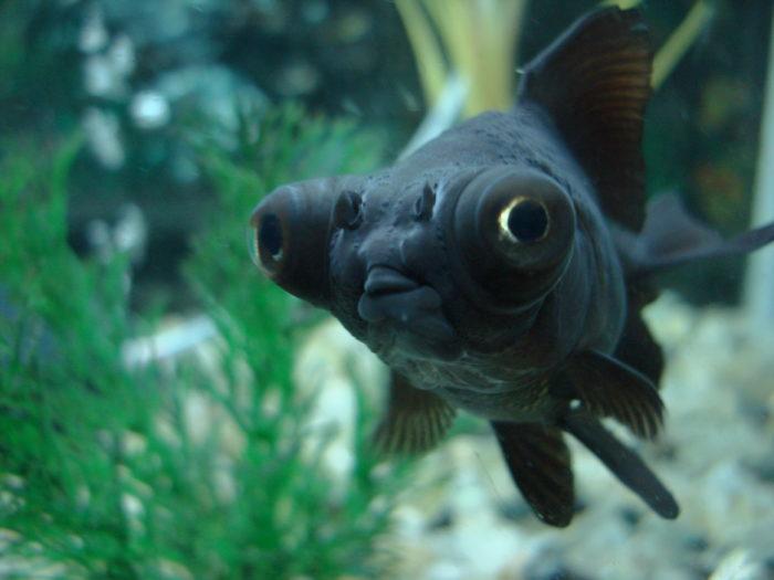 К чему снится черная рыба? фото
