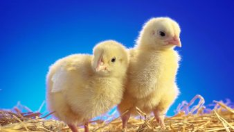 chicks_chickens_straw_birds_animals_ultra_3840x2160_hd-wallpaper-357291
