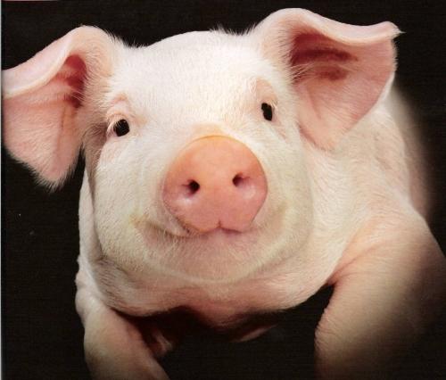 К чему снится чистая свинья? фото