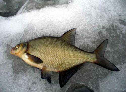 К чему снится гнилая рыба? - фото