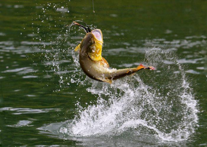 К чему снится, если муж поймал рыбу? фото