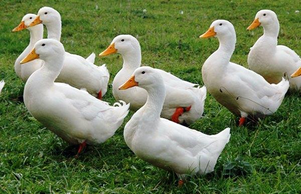 К чему снятся белые утки? фото