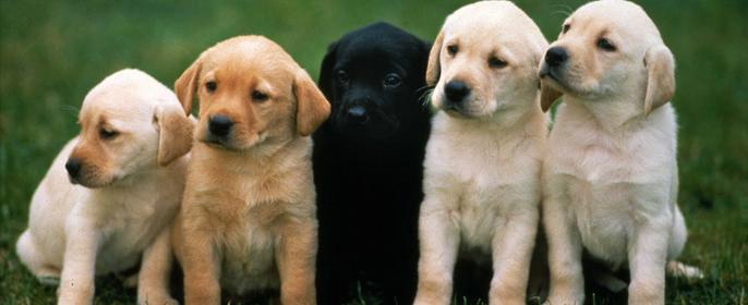 К чему снится собака, что родила щенков? фото