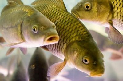 К чему снится рыба карп? фото