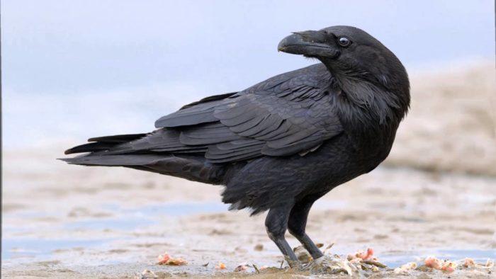 К чему снится ворон? - фото