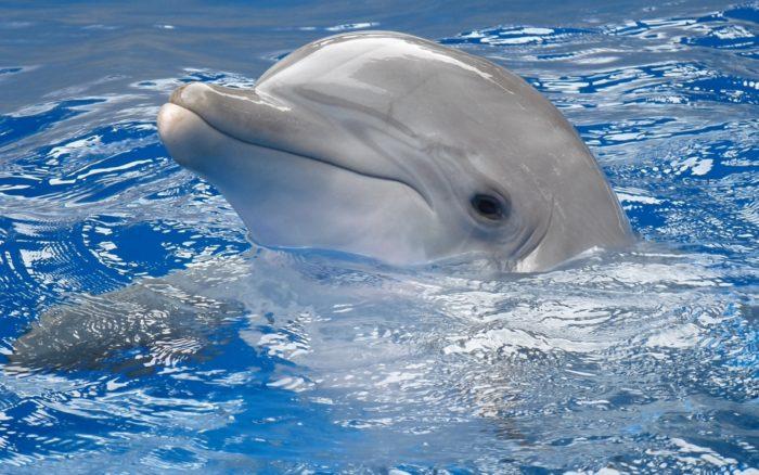 К чему снятся дельфины? фото