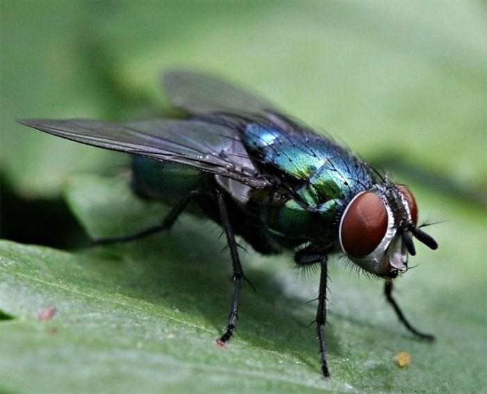К чему снятся мухи? фото