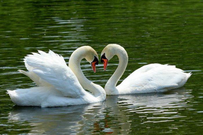 К чему снятся лебеди белые на воде? фото