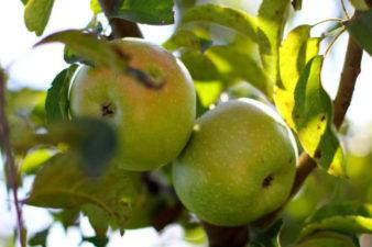 зелёные-яблоки-на-ветке-1415783628_37
