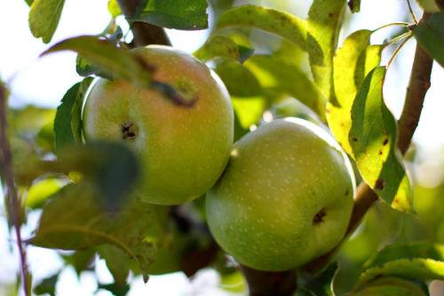 К чему снятся зеленые яблоки на дереве? фото
