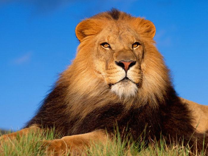 К чему снится лев? фото
