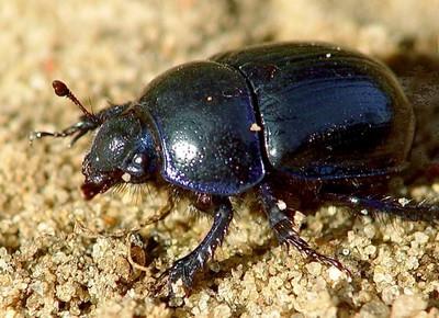 К чему снится большой черный жук? фото