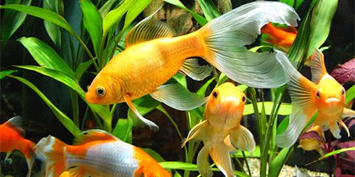 К чему снятся рыбы в аквариуме? - фото