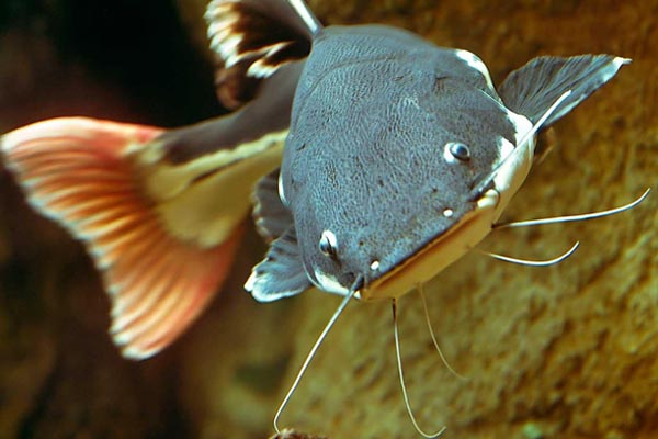 К чему снится рыба сом? фото