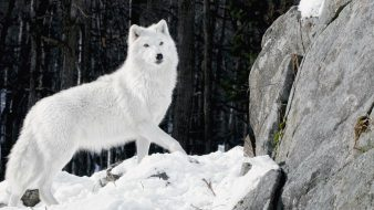 Snow-Wolf-Photos