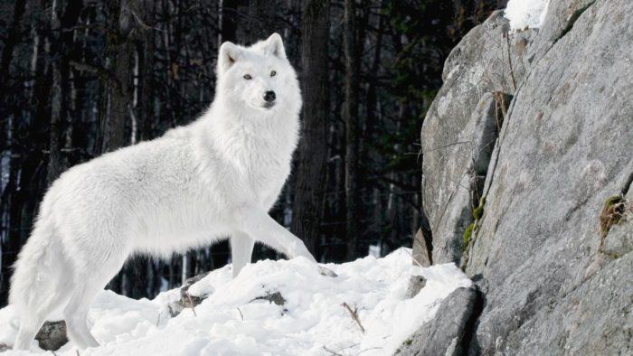 К чему снится белый волк? - фото