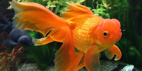 К чему снится золотая рыбка в аквариуме? фото