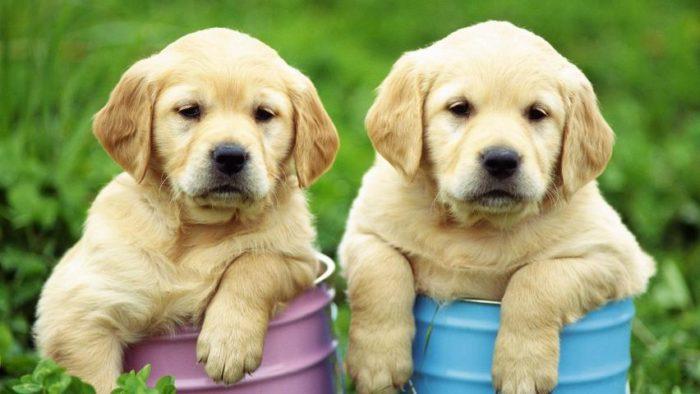 К чему снятся две собаки? фото