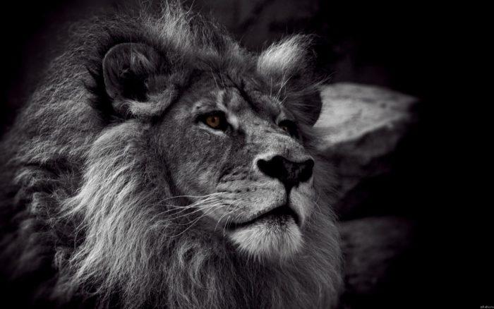 К чему снится черный лев? фото