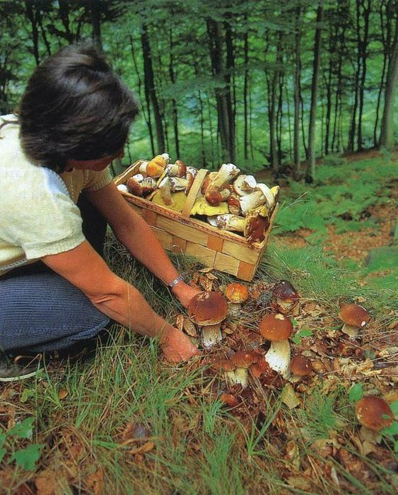 К чему снится собирать белые грибы? фото