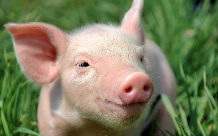 К чему снятся свиньи? фото