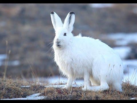 К чему снится белый заяц? фото