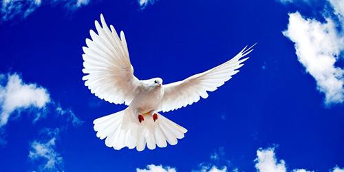 К чему снится белый голубь? фото