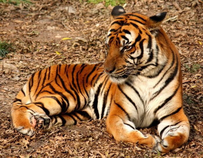К чему снится тигр? фото