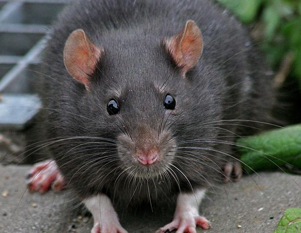 К чему снится черная крыса? фото