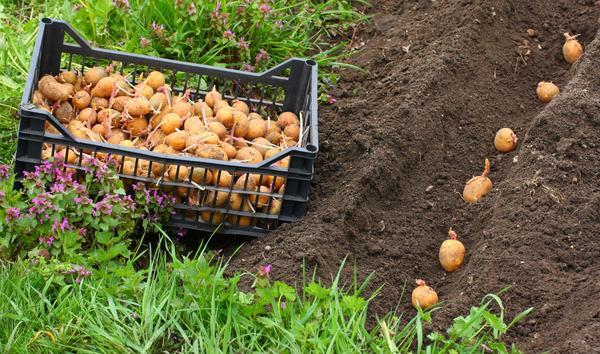 Как правильно и где сажать картофель? фото