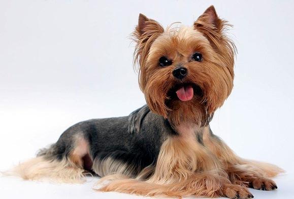 Какую выбрать породу собак для содержания в квартире? фото