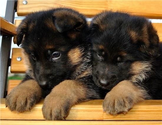 Как ухаживать за щенками немецкой овчарки? фото