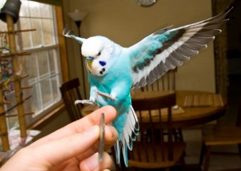 budgie_is_flying__medium