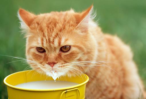 Можно ли кошке давать сметану? фото